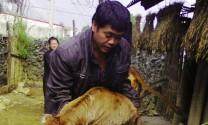 Hà Giang:Thụ tinh nhân tạo cho bò đạt khá