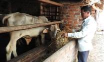 Phát triển bò lai hướng thịt để tăng sức cạnh tranh