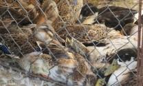Đức Linh (Bình Thuận): Bệnh dịch tả gây chết 10.000 con vịt