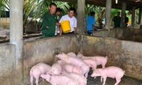 Tây Ninh: Giá heo tăng nhẹ, người chăn nuôi dè dặt tái đàn