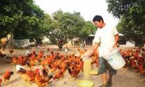 Thái Nguyên: Hiệu quả nuôi gà an toàn sinh học
