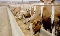 Thức ăn chăn nuôi vượt ngưỡng