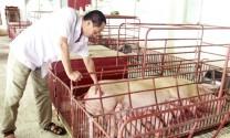Tăng năng suất sinh sản và chất lượng sữa heo nái