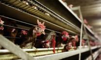 Phòng, trị bệnh sổ mũi truyền nhiễm trên gà