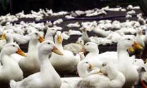 Gắn mã vạch truy xuất nguồn gốc trang trại nuôi vịt