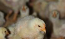 Nam Phi: Khan hiếm nguồn cung thịt, trứng gia cầm