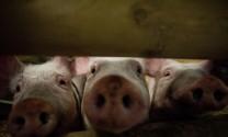Anh: Giá thịt heo tiếp tục giảm