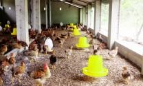 Làm chuồng trại chăn nuôi hữu cơ đúng cách