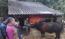 Lạng Sơn: Hiệu quả mô hình vỗ béo bò thịt