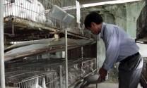 Bắc Ninh: Liên kết nuôi thỏ thương phẩm ở Lương Tài