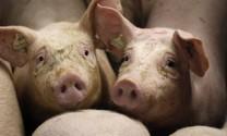 Nguồn cung thịt heo toàn cầu dự báo tăng