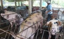 Cần xây dựng Luật Chăn nuôi mới