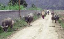 Hà Giang: Thoát nghèo từ con trâu, ngọn cỏ