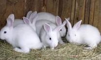 Nông dân trẻ làm giàu từ mô hình nuôi thỏ New Zealan
