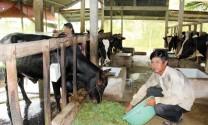 Chuyện nuôi bò sữa ở Evergrowth