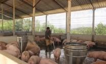 Thái Nguyên: Giá lợn tăng, người nuôi đã có lãi