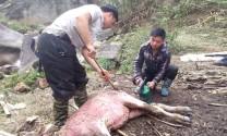 Lào Cai: Rét hại làm 95 con trâu, bò chết rét