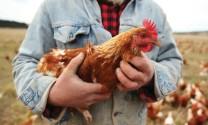 Chăn nuôi gà kháng bệnh