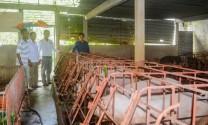 Sóc Trăng: Nghiệm thu mô hình nuôi heo sinh sản áp dụng công nghệ thụ tinh nhân tạo