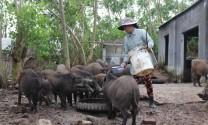 Phú Yên: Heo rừng nuôi hút hàng