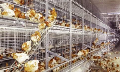 Ngành trứng gia cầm Nhật Bản hội nhập