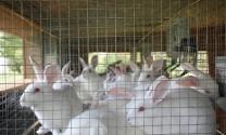 Kinh nghiệm chăn nuôi thỏ thịt