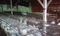 Phòng và trị một số bệnh trên thỏ