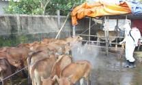 Nghệ An: Xuất hiện dịch lở mồm long móng