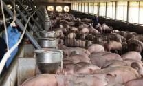 Thái Nguyên: Sản lượng thịt hơi các loại đạt trên 141.000 tấn