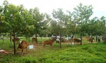 Bình Thuận xây dựng đề án hỗ trợ phát triển trồng cỏ, nuôi bò thịt cao sản