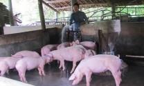 Phú Yên: Người nuôi heo hy vọng vào vụ tết