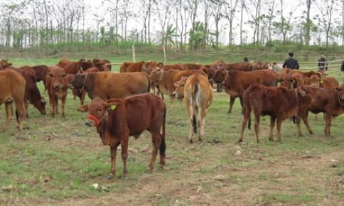 Lợi nhuận từ nuôi vỗ béo bò thịt
