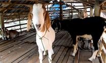 Bình Thuận: Giá dê hơi giảm nhưng giá thịt dê không giảm