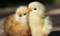 Hỏi đáp: Cần giải đáp triệu chứng bệnh ở gà con?