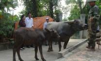 Bắc Giang: Hỗ trợ trâu đực giống