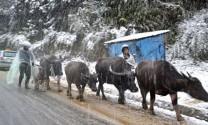 Hàng loạt gia súc đã chết vì rét đậm rét hại