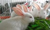 Quảng Nam: Nuôi thỏ đạt hiệu quả kinh tế cao