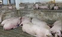 TP Hồ Chí Minh: Lập sàn giao dịch thịt heo