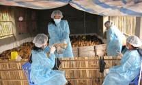 Hà Nội: 100% cơ sở nói không với chất cấm trong chăn nuôi