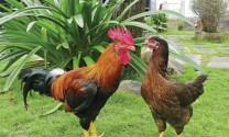 Giống gà ta Minh Dư: Dẫn đầu giống gà ta  thả vườn
