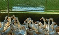Trà Vinh: Hỗ trợ nông dân nuôi vịt đẻ trứng kết hợp nuôi cá theo hướng an toàn sinh học