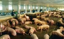 Tôn vinh thành tích ngành chăn nuôi