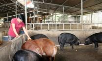 Gia Lai: Chuyển dịch sang chăn nuôi tập trung
