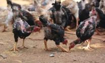 Phát triển giống gà Móng bản địa