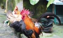 Đặc điểm sinh trưởng gà tre ở điều kiện thả vườn