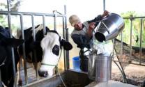 Lâm Đồng: Tập trung phát triển đàn bò sữa tại Di Linh