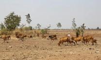 Ninh Thuận: Gia súc chết vì nắng nóng, thiếu nước