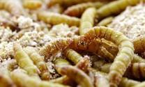 Nuôi sâu meal an toàn bằng lúa mỳ nhiễm độc