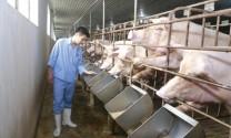 Chăn nuôi Việt Nam: Chuyển mình để phát triển