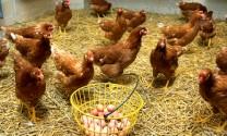 Sản lượng thịt gà 2018 dự kiến tăng 1%